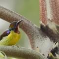 褐喉吸蜜鸟