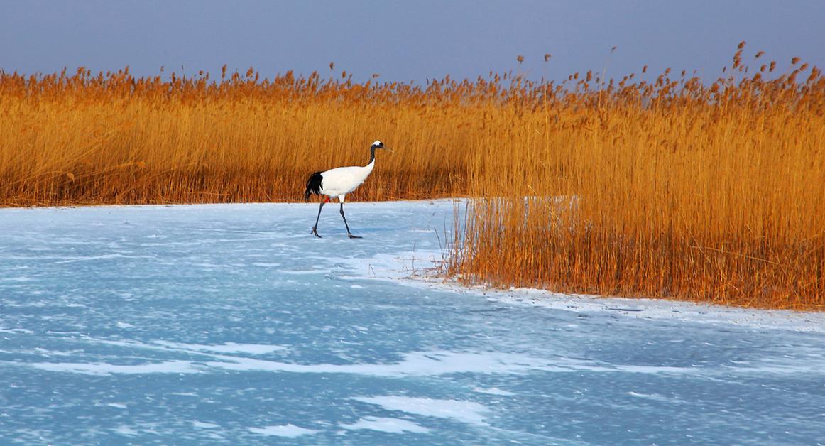 扎龙湿地-丹顶鹤