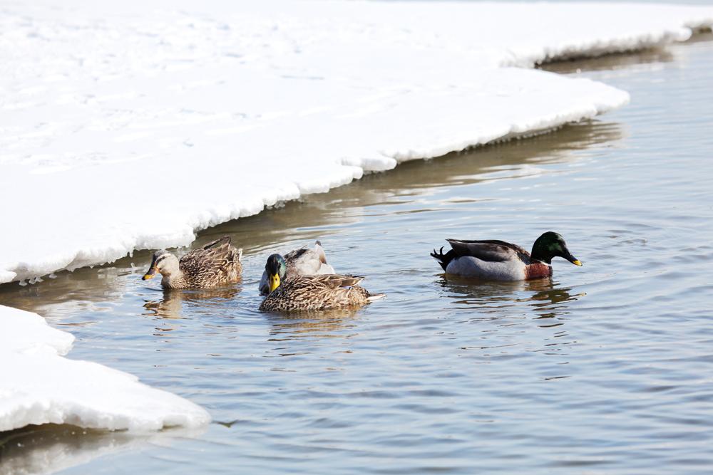 冬之雪 投稿作品 小小鸭子水中游 组照 大型摄影画册 冬之雪 征稿栏目 摄影交流论坛