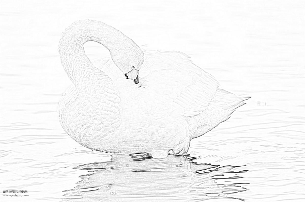 铅笔画一只天鹅