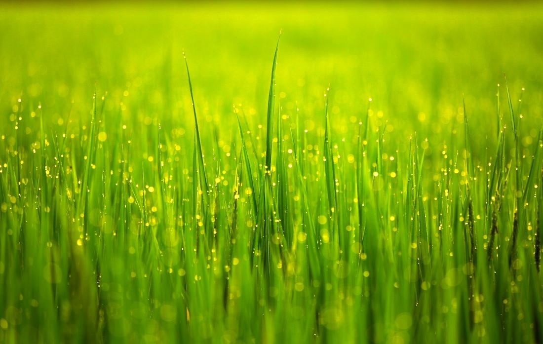 阳光雨露禾苗壮 - 生态静物 - 数码摄影网论坛 - 摄影