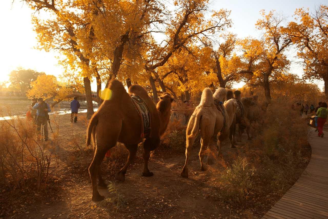 内蒙古阿拉善戈壁大漠额济纳胡杨林掠影
