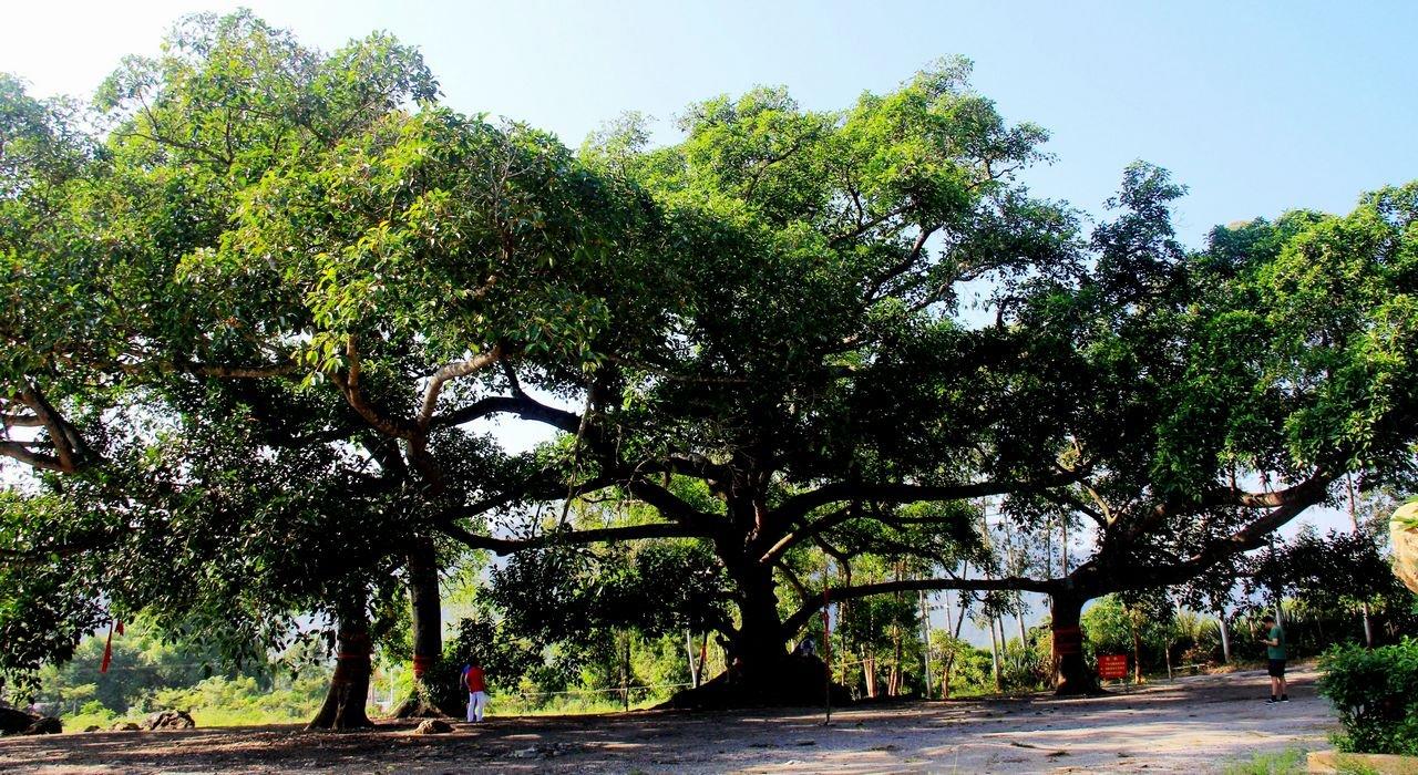 连体大榕树