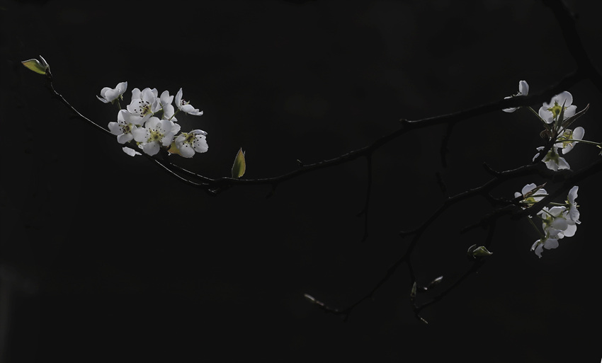 古风水彩梨花png素材