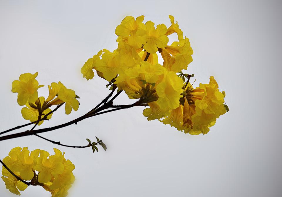 《黄花风铃木》