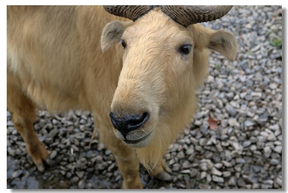 羚牛简笔画步骤