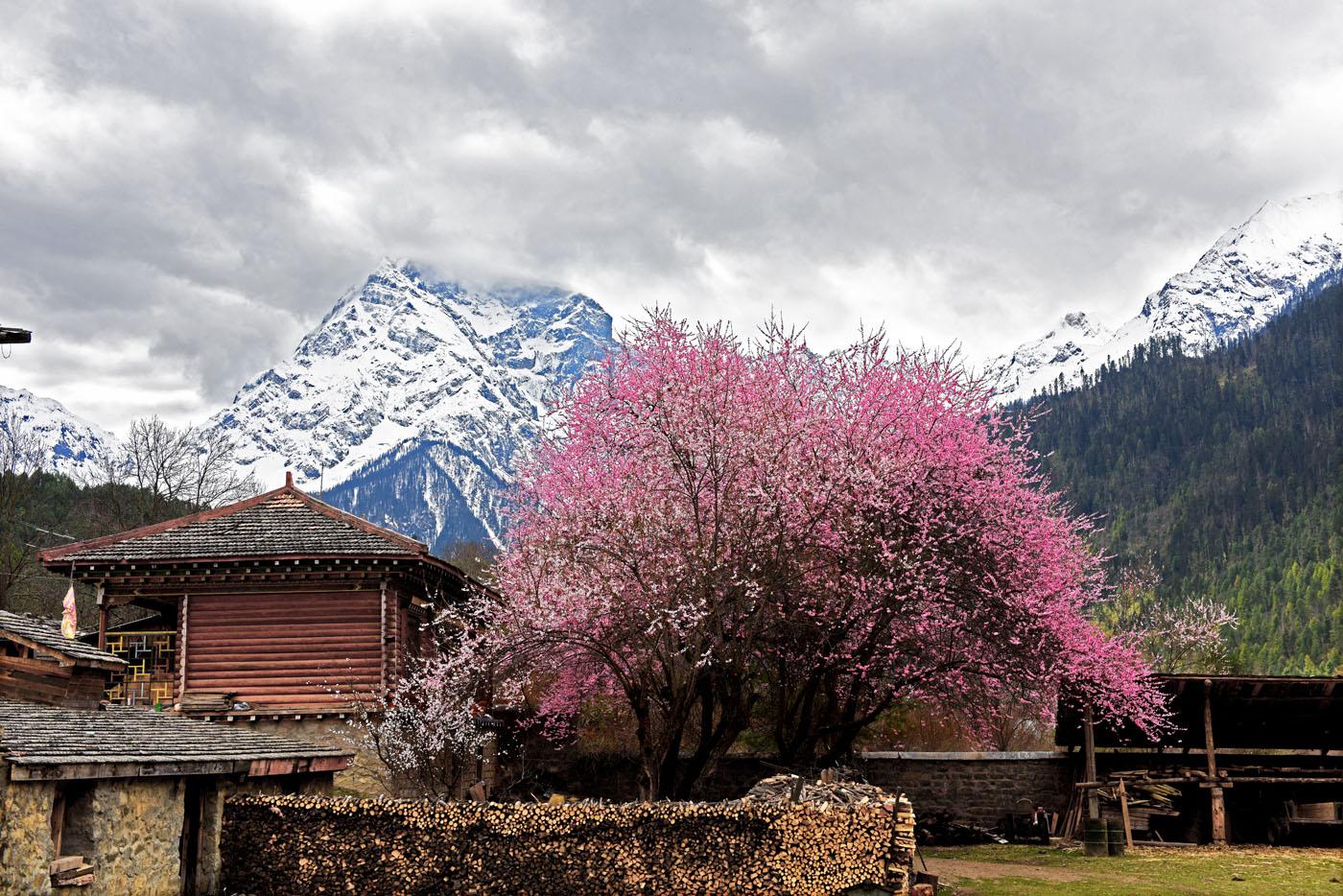 估计当时的诗人没有到过西藏林芝。林芝地区的野生桃花遍布林芝、米林县、朗县、波密县等,每年3月底到4月底,绵延数百公里的野生桃花竞相开放。那一幅幅雪山与桃花相映的美丽画面,也只是是特高海拔的藏区雪域所独有!