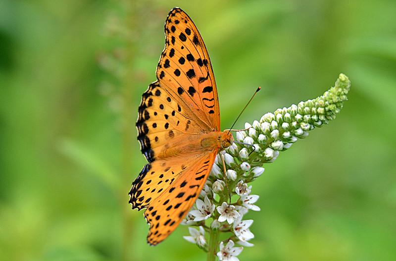 蝴蝶采花蜜