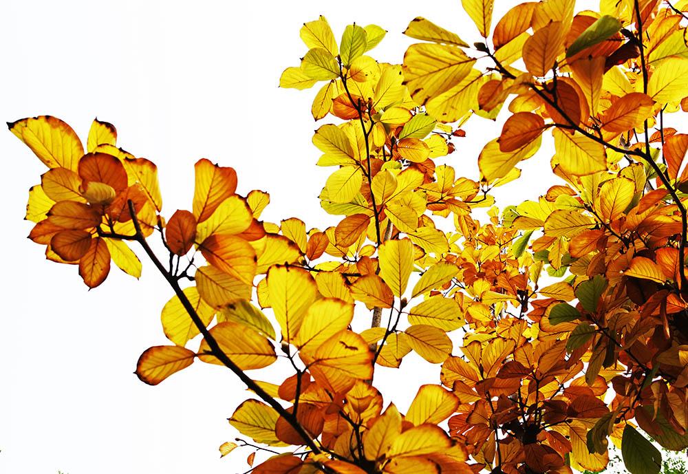 背景 壁纸 绿色 绿叶 树叶 银杏 银杏树 银杏叶 植物 桌面 1000_689
