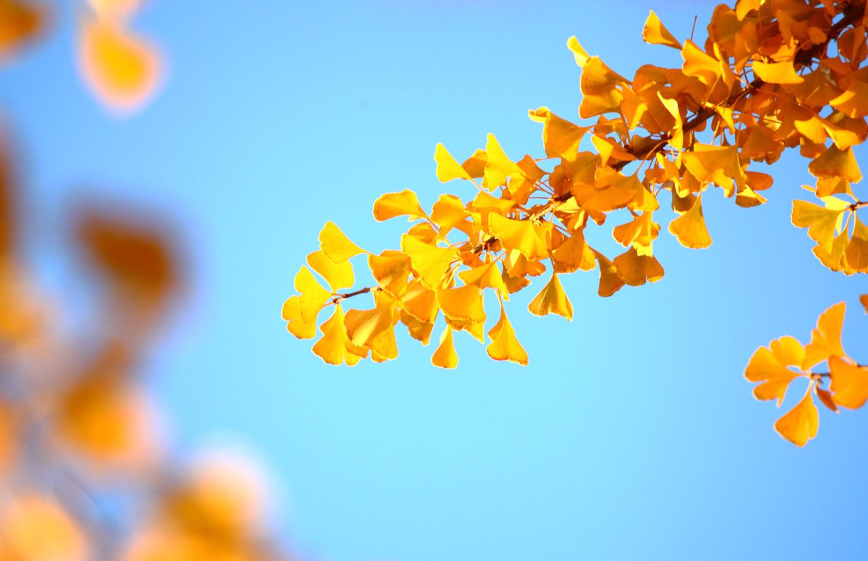 光影银杏叶