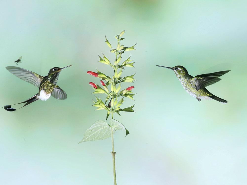 4左 盘尾蜂鸟右安第斯蜂鸟  学名;Agyrtria franciae  英文名:Andean EmeraldCF5V7815_副本.JPG