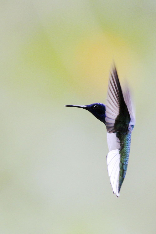 11CF5V3904_白颈蜂鸟雄鸟  学名:Florisuga mellivora,英文名White-necked Jacobin.JPG