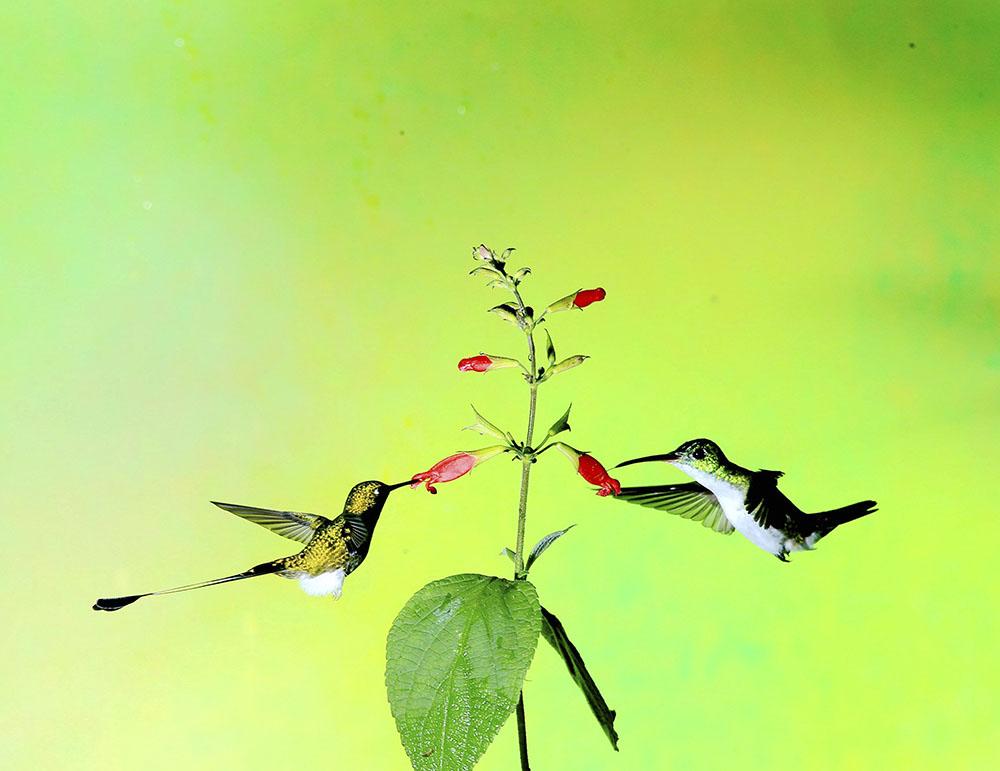 6 左 盘尾蜂鸟;右 安第斯蜂鸟  学名;Agyrtria franciae  英文名:Andean Emerald14CF.jpg