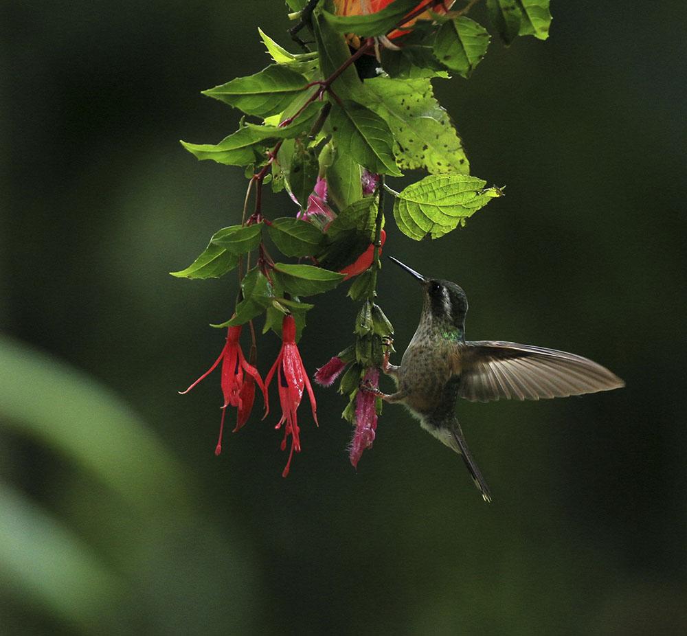 23 褐紫耳蜂鸟 Brown Violetear 4CF5V1236_副本.JPG