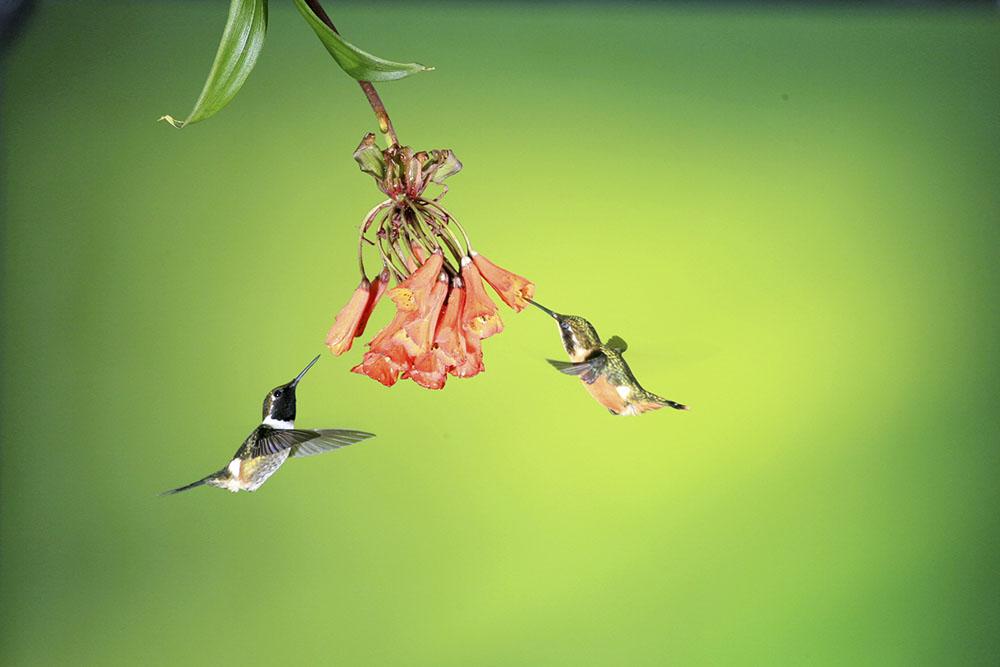 18  栗胸冕蜂鸟CF5V3300.JPG