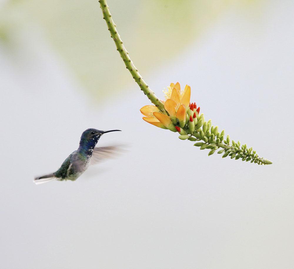 24 安第斯蜂鸟  学名;Agyrtria franciae  英文名:Andean EmeraldCF5V1335_副本.JPG