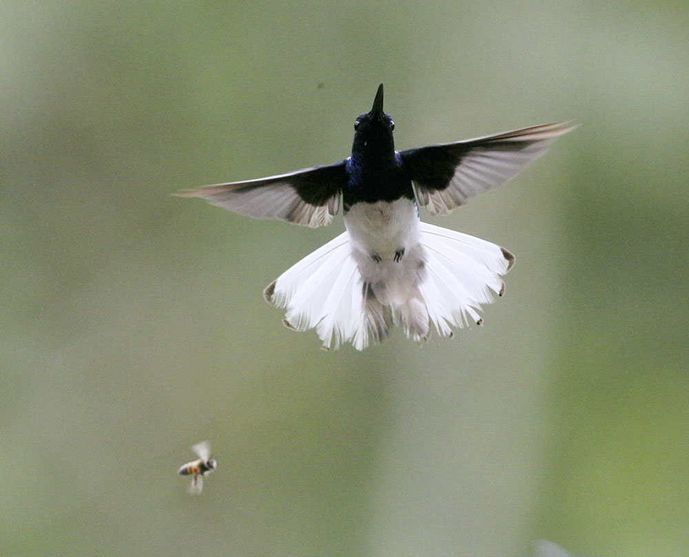 35  白颈蜂鸟 White-necked Jacobin 公CF5V3269.JPG
