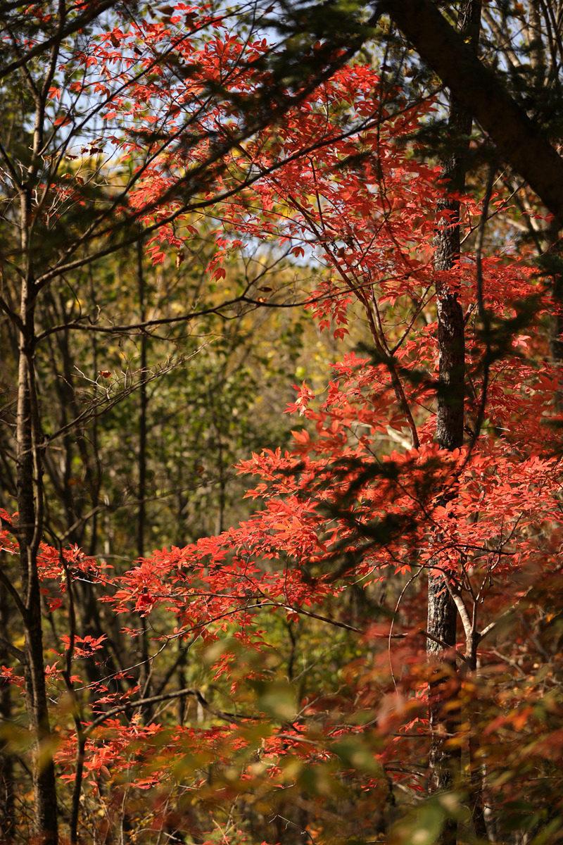 壁纸 枫叶 风景 红枫 树 800_1200 竖版 竖屏 手机