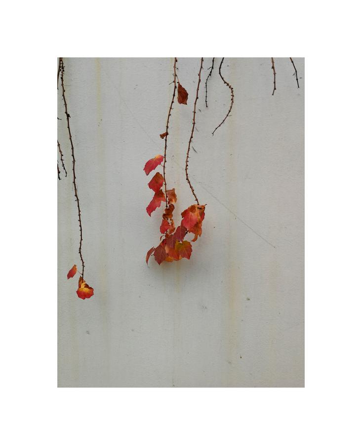 墙上的红叶