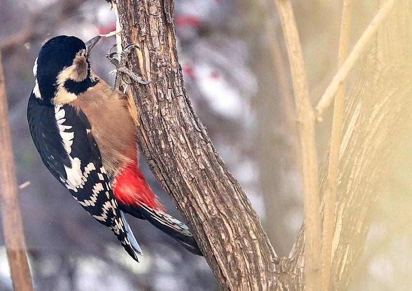 棕腹啄木鸟...
