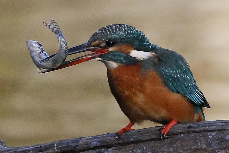 新春祝福年有鱼----小翠