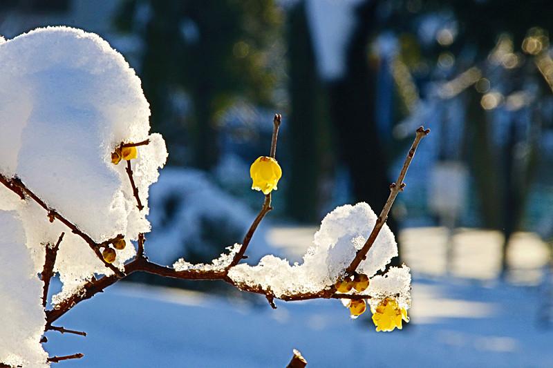 腊梅溶雪迎春到