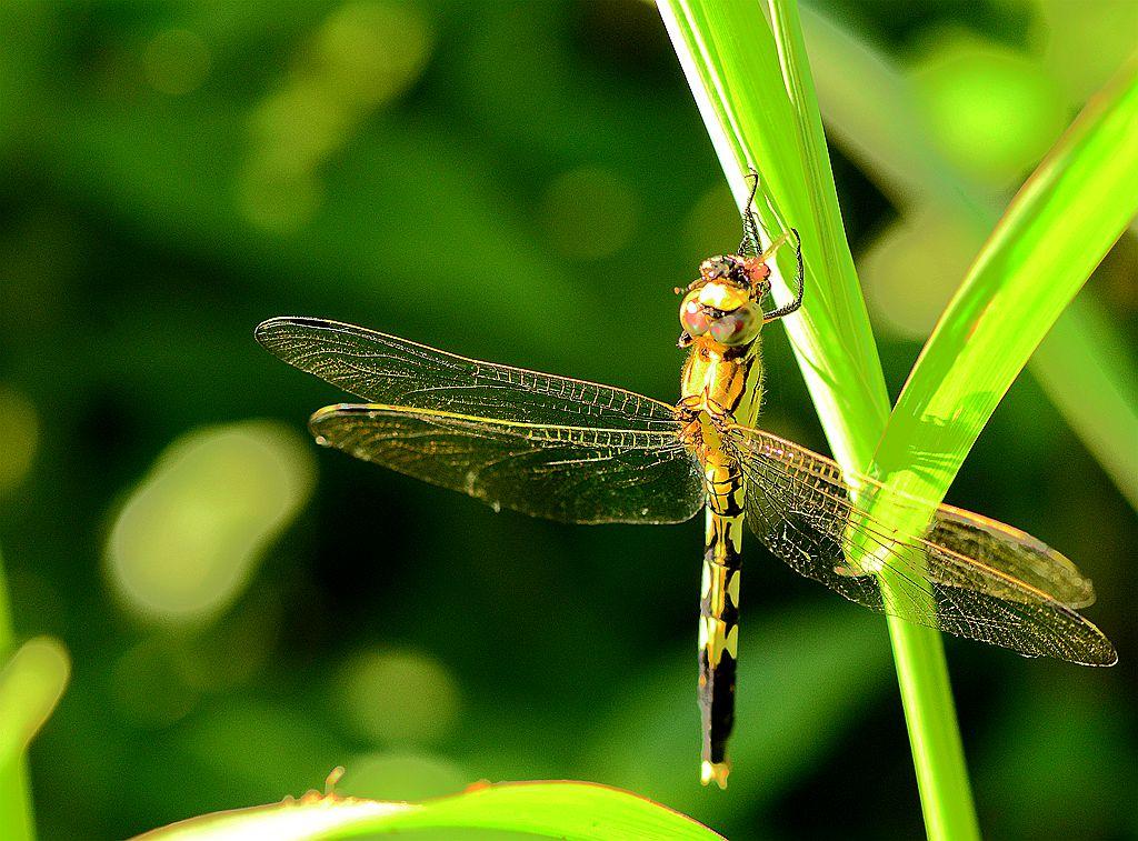 进餐中的蜻蜓
