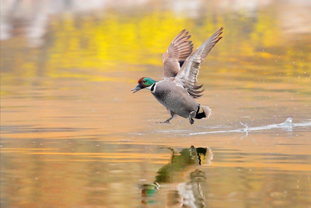 踏浪起飞的-----螺纹鸭