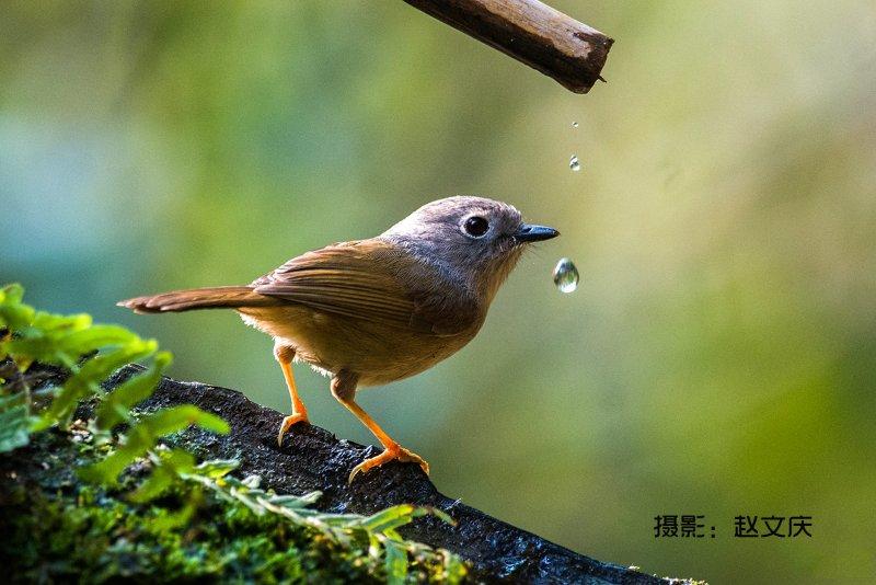 广西弄岗,发现穗鹛、白翅蓝雀、明星鸟、蓝背八色鸫拍鸟之旅