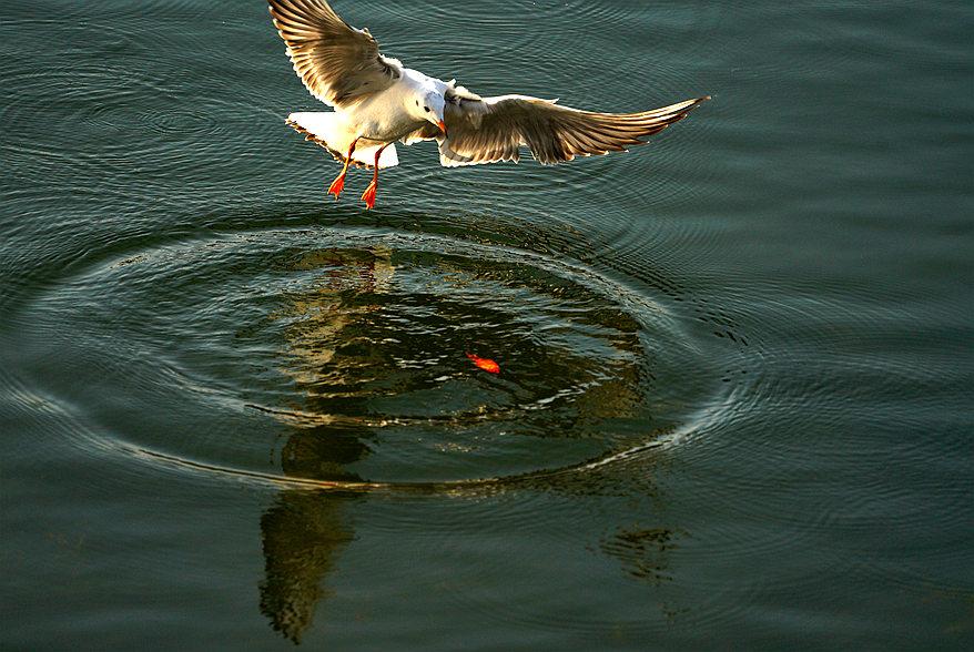红嘴银鸥捉小红鱼