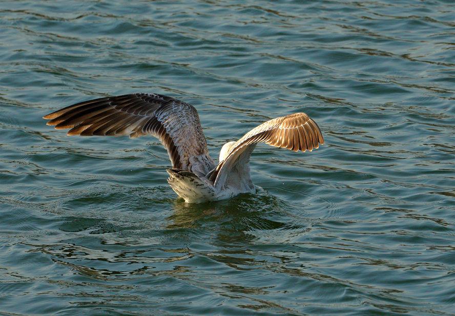 ——可爱的海鸥——