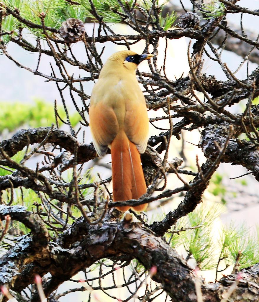黄山八音鸟随拍