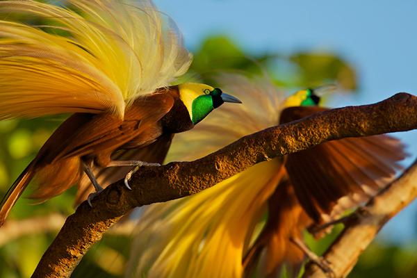 巴布亚新几内亚鸟类与文化摄影之旅!开始报名了!