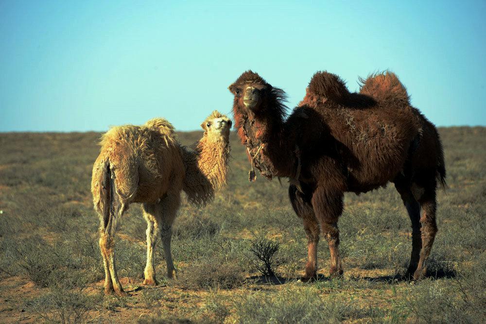 骆驼夫妻合影