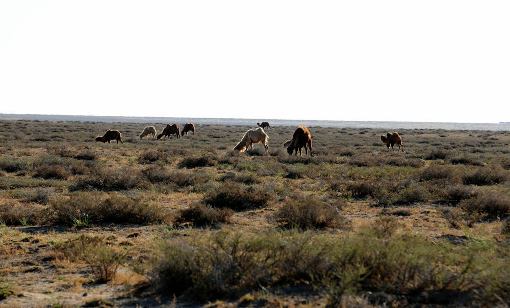 阿拉善的骆驼