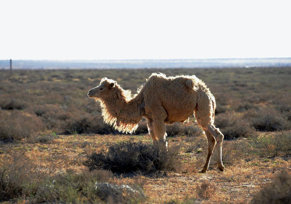 晚拍阿拉善骆驼