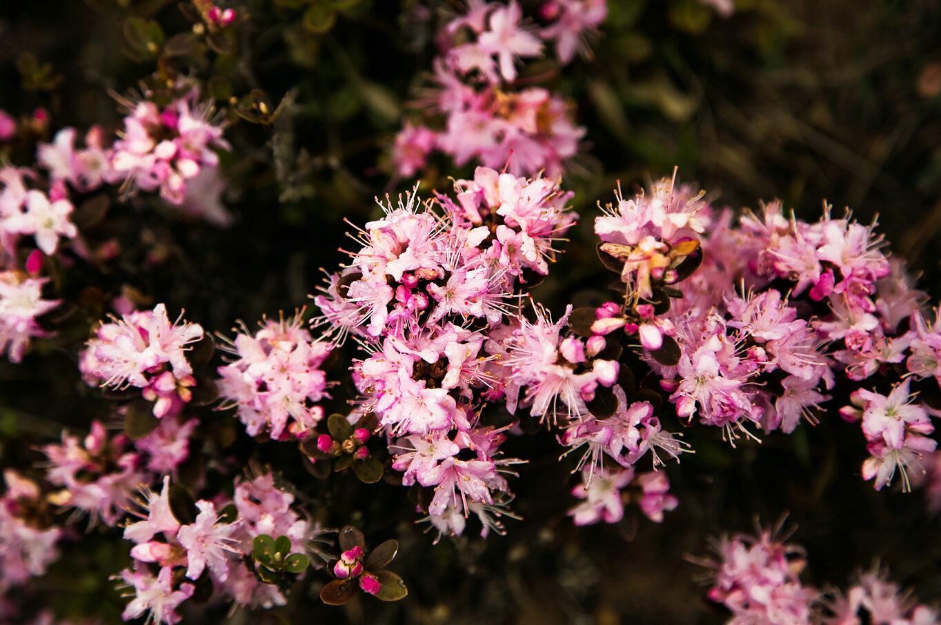 5月大凉山索玛花节、布拖、昭觉、金阳索玛节人文、民俗风情、原生态风光摄影团!