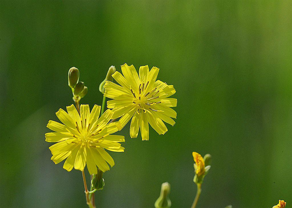 两朵小黄花