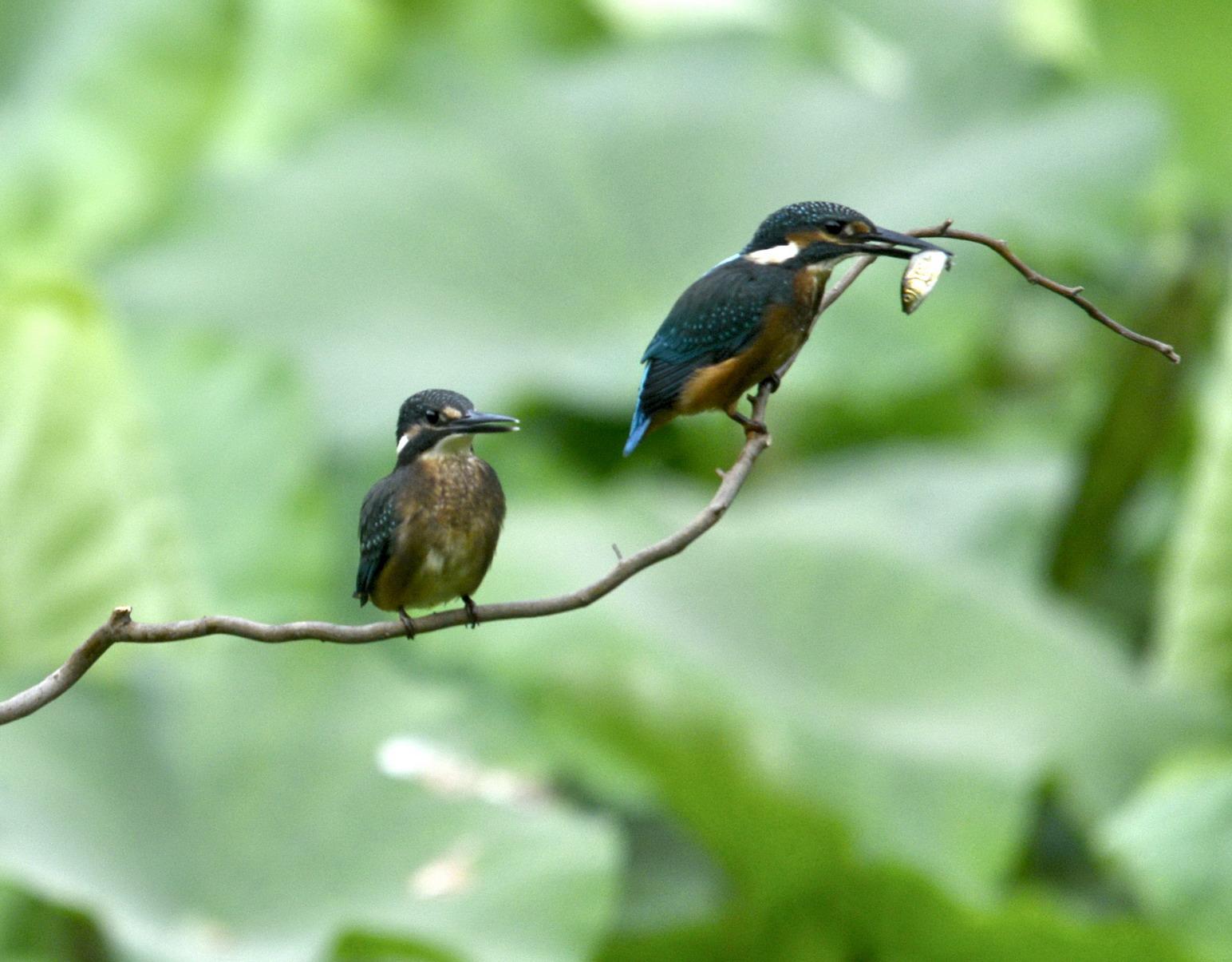 郑州西流湖荷塘精灵小翠鸟
