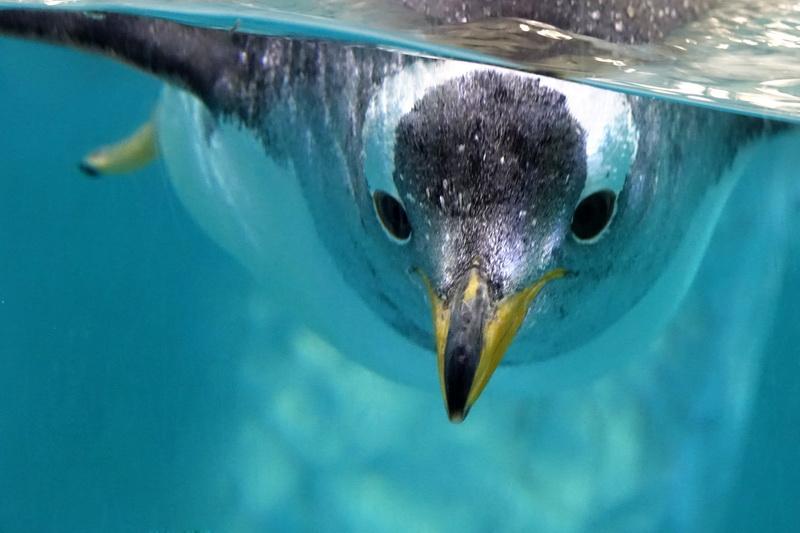 潜水的企鹅 程书贞.jpg