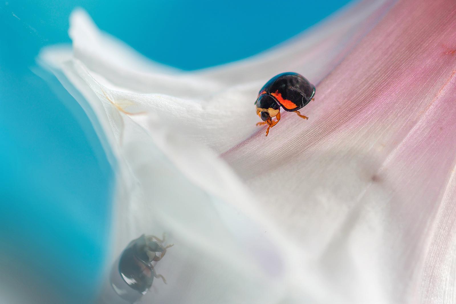瓢蟲(共六張)