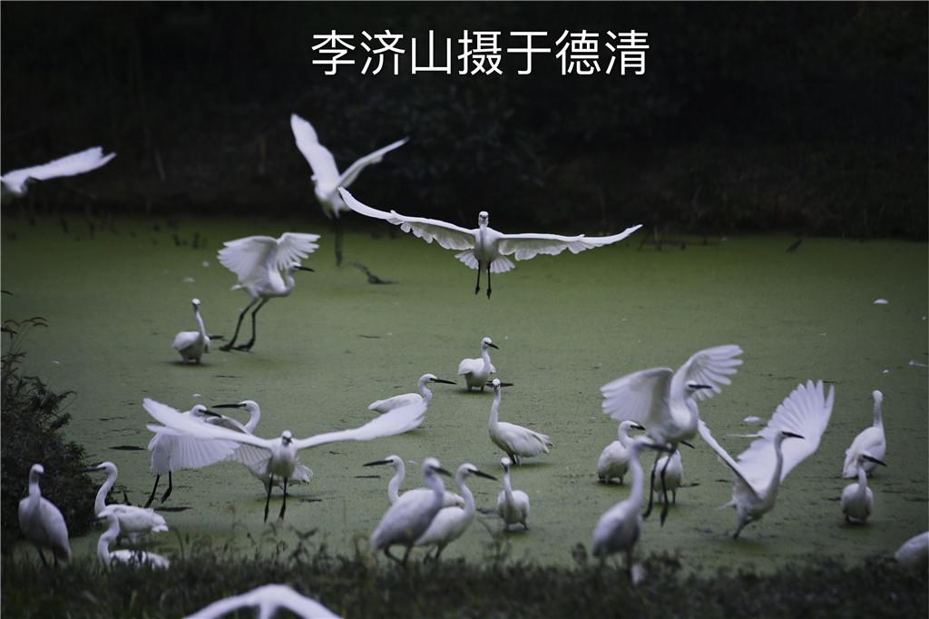 德清朱鹮、白鹭摄影团