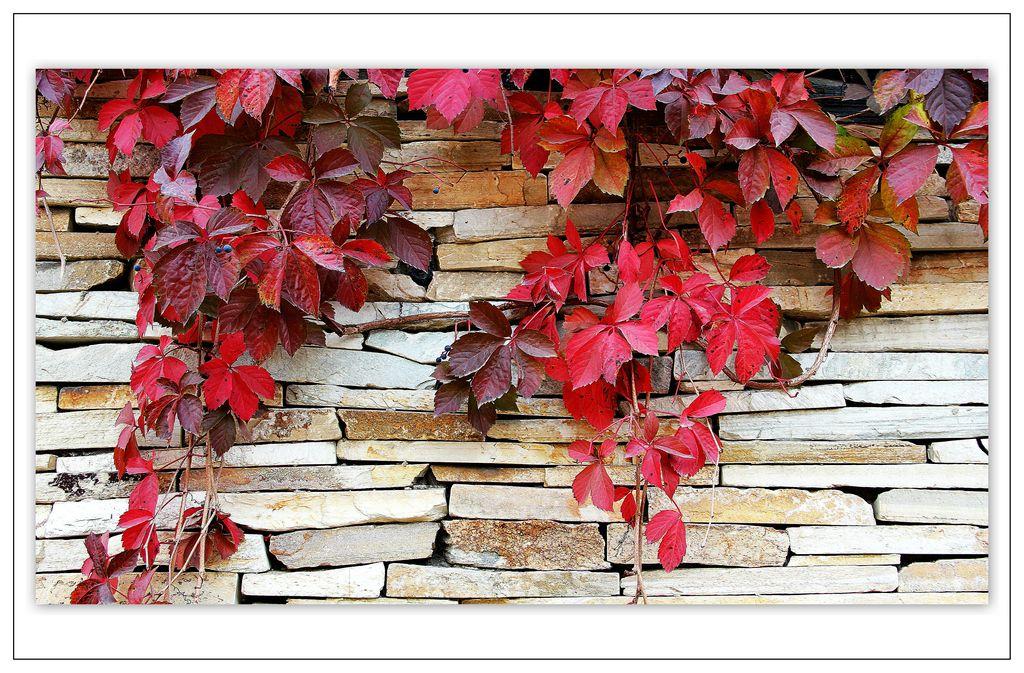 爬山虎的秋天