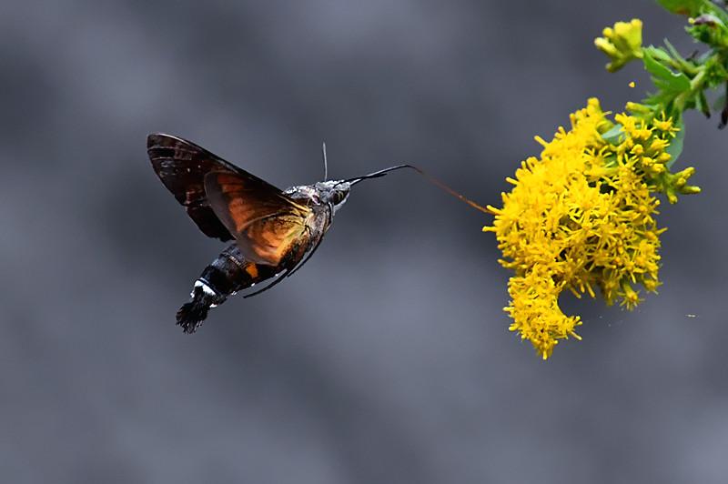 蜂鸟蛾(长嘴蛾)