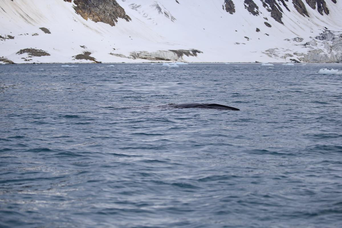 探秘北极---座头鲸