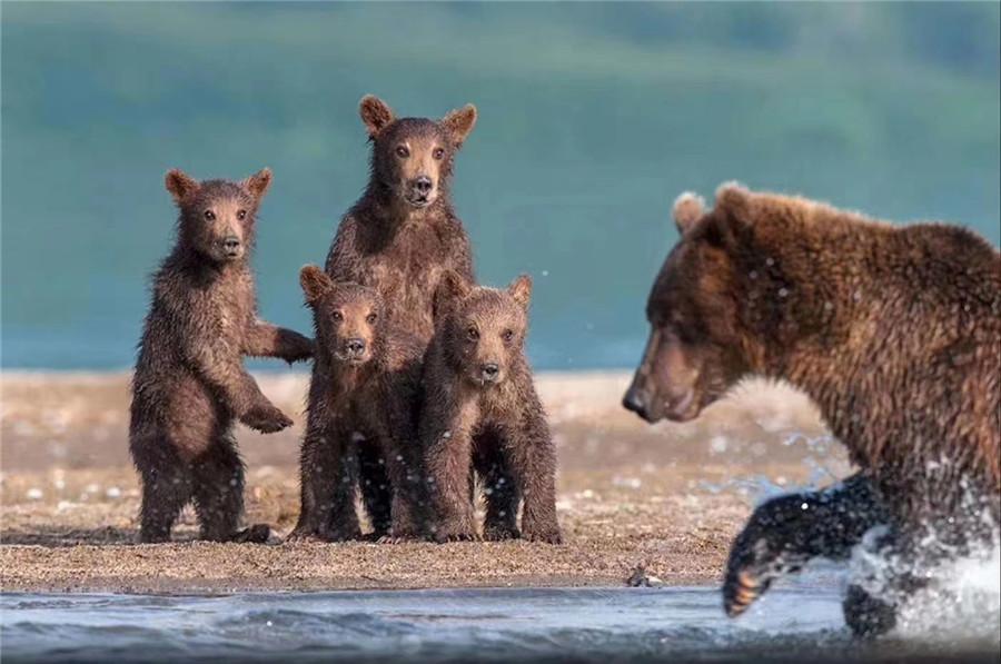 中国独家首发|堪察加秘境、探秘野性堪察加,野生棕熊深度摄影团