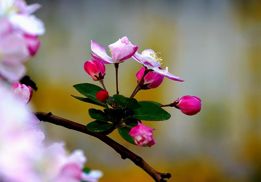 梦幻海棠花