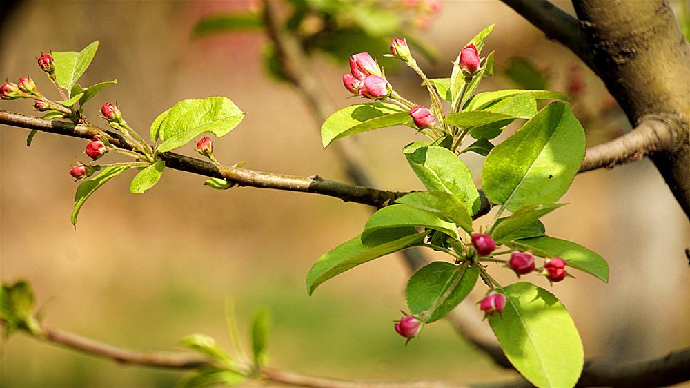 我们小区旁边北沙河沿岸的海棠花桃花等