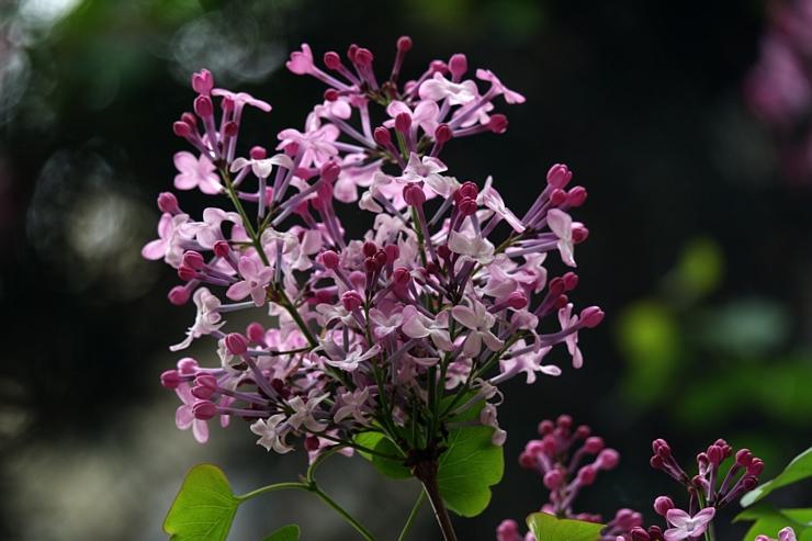 紫丁香花香满园.....