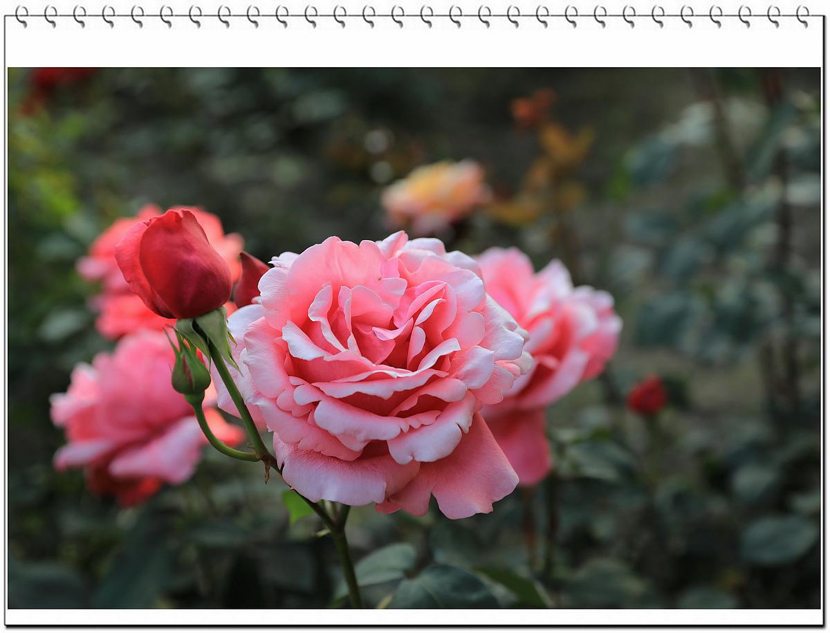 西湖边  鲜艳夺目的玫瑰